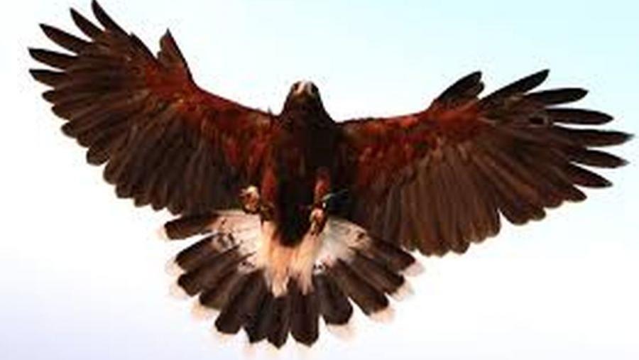 Billede af en ørn i luften